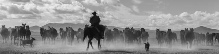 Cowboy on horseback herding horses