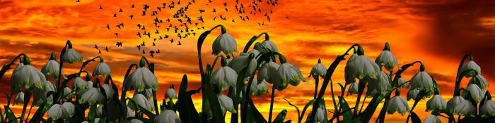 Snowdrop flowers in front of a sunset with birds silhouetted in the sky